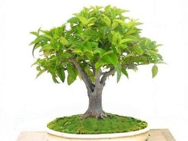 Λεμονιά bonsai (Citrus limon)