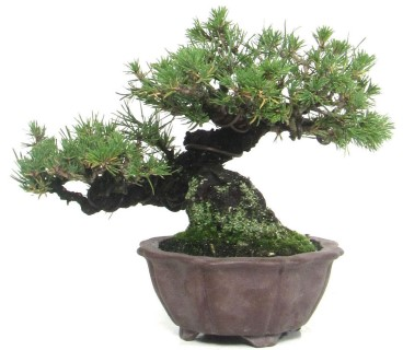 pinus thunbergii bonsai