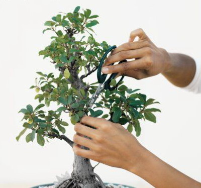 pruningbonsai1